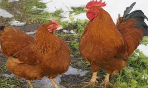 Yeme tavuklar. İçerik ve ırklar